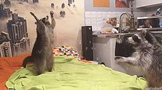"""thenatsdorf: """"Raccoons have fun playing with bubbles. [full video] """""""