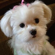 Maltese Dog Haircuts 137796 Charlie S New Haircut Love the Ears Maltipoo Maltepoo Maltese - Hairstyle ideas Cute Puppies, Cute Dogs, Dogs And Puppies, Doggies, Dogs Tumblr, Maltese Haircut, Dog Haircuts, Maltese Dogs, Teacup Maltese
