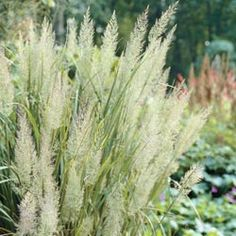 Diamond Ornamental Grass  Stately Ornamental Grass  Height: Up to 4' when in flower  Bloom Time/Days To Maturity: late summer onward for winter interest  Zone: 4-10 (-30 F) Known to thrive in Minnesota  Sun/Shade: full sun to shade. Will bloom in full shade, but is more stately in full sun.