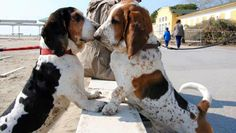 Basset Hounds becoming acquainted.