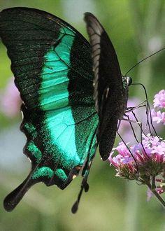 Papilio palinurus by Rosanne Jordan. Found on fineartamerica.com Via Pinterest.com