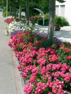 die 13 besten bilder von bodendecker rosen plants gardens und flower beds. Black Bedroom Furniture Sets. Home Design Ideas