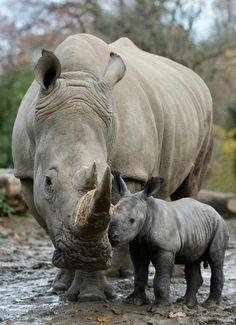 Baby Rhino born in Dublin zoo, 2017 Safari Animals, Cute Baby Animals, Animals And Pets, Wild Animals, African Rhino, African Animals, African Elephant, Majestic Animals, Animals Beautiful