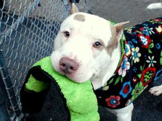 HOGAN - A1057162 - - Manhattan  TO BE DESTROYED 11/22/15 Hogan has had a very busy week but not in a good way. He found himself as a street walker which is tough on a guy who needs to maintain 68-pounds. Good thing Hogan is so good natured because he took it all in stride and the weather's been pleasant lately. Anyone, some lowlife human made as if to attack Hogan by spitting on him and Hogan up and bit the creep. Well, off to the shelter went Hogan who was placed in isol