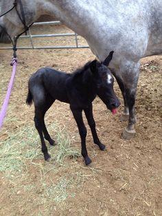 Bucky, new little man on the Raisin Roan QH Ranch 3/22/14