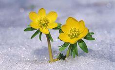 Auf einmal geht es ganz schnell: Schneeglöckchen, Winterling und andere Zwiebelblumen öffnen ihre Blüten. Doch wie merken die Pflanzen, wann der Winter vorbei ist? Und was passiert, wenn es doch noch einmal schneit?