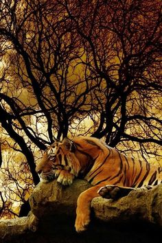 #animales #Tigress