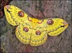 Not sure what species but still a really cool moth. Cool Insects, Flying Insects, Beautiful Bugs, Beautiful Butterflies, Colorful Moths, Emperor Moth, Moth Caterpillar, Chenille, Art Graphique