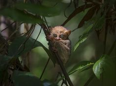 Horsfield's tarsier Photo by Syahputra Syahputra -- National Geographic Your Shot