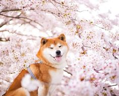 Hachi the handsome Shiba Inu loves nothing more than frolicking in the lush flower fields of Hitachi Seaside Park in Hitachinaka, Ibaraki, Japan. Japanese Dog Breeds, Japanese Dogs, Shiba Inu, Siberian Husky Puppies, Siberian Huskies, Corgi Puppies, Loyal Dogs, Animal Photography, Equine Photography