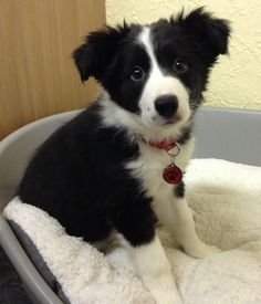 """December - Very, very cute Puppy Alert!!! """"This is our 11 week old Border Collie puppy Misty, wearing her new tag that she had for Christmas."""" Thanks for the lovely picture Scott & Carly, I hope Misty loved her present!"""