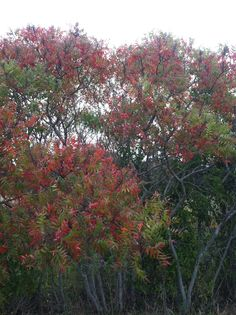 Fall colors of Flame Sumac