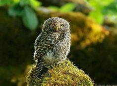 Pygmy Owl by Sonu Arora Pinned by www.myowlbarn.com