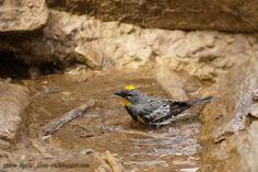 mis fotos de aves: Chipé coronado [Setophaga coronata] Yellow-rumped ...