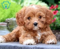 This Cavapoo puppy has everything you could ask for. She is a real cutie who loves attention. Shih Poo Puppies, Cavapoo Puppies For Sale, Teddy Bear Puppies, Shih Tzu Puppy, Cute Dogs And Puppies, Baby Dogs, Pet Dogs, Havapoo Puppies, Doggies