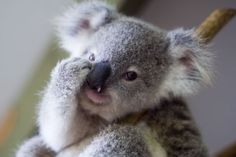 Amazing wildlife - Koala Bear baby *~❤•❦•:*´`*:•❦•❤~*