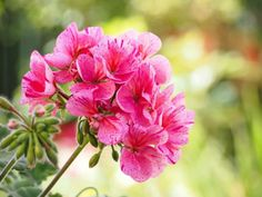 Find Picture, Geraniums, Pretty Pictures, Dandelion, Home And Garden, Nature, Plants, Gardening, Decoration