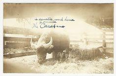 "View of water buffalo, ""A domestic work horse.Hawaii"" MAUI ca1900s"