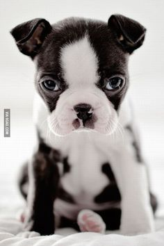 Boston Terrier puppy staring at you