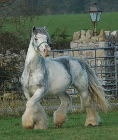"Stallion Tinkerhoeve ""De Bonte Parels"". An unusual color - Blue Blagdon."