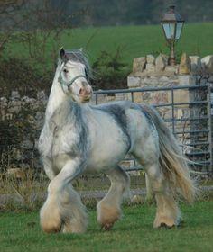 A Tinker Horse stallion named Muskerro van de Bonte Parels.