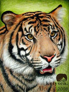 Tiger colour drawing by kelysea