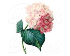 HYDRANGEA Instant Download Digital Image pink by PixelsTransfer