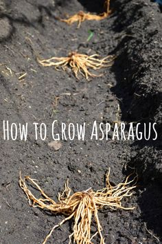 How to grow asparagus and plant asparagus crowns. Fruit Garden, Edible Garden, Lawn And Garden, Vegetable Garden, Herbs Garden, Farm Gardens, Outdoor Gardens, Veggie Gardens, Asparagus Plant