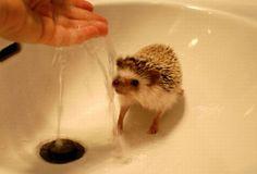Ouriço Pigmeu – Hedgehog : Fottus