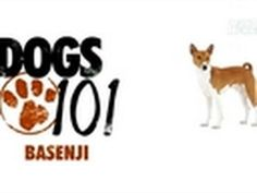 I <3 Basenji's! For all of you that are confused when I tell you what Bailey is, watch this Dogs 101- Basenji summary from Animal Planet!
