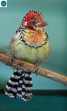 https://www.facebook.com/WonderBirds-171150349611448/ Cu rốc vàng đỏ; Họ Cu rốc châu Phi-Lybiidae/African barbet; Đông Phi || Red-and-yellow barbet (Trachyphonus erythrocephalus); IUCN Red List of Threatened Species 3.1 : Least Concern (LC)(Loài ít quan tâm).