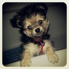 Yorkie, Chihuahuas and Puppys on Pinterest