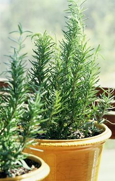 Rosemary - ROSEMARY Historically, rosemary has symbolized everything from remembrance to inner peace. We suspect the connection is made through the enchanting aroma of the needles, which recall sunny days.