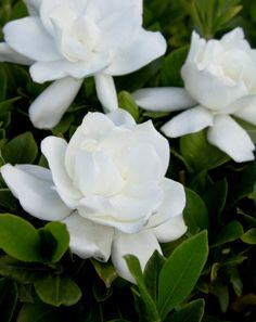 August Beauty Gardenia (Grafted) - Zones 8-11, 5' t x 3' w. Improved to do well in poor soil, larger blooms than veitchii gardenia.