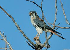 American Kestrel - Falco Sparverius Cearae - Chapadas Dos Guimaraes Mato Grosso State Brazil