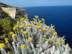 In search of the world's finest helichrysum oil, David & Sarah Crow journey to Corsica. Greek Flowers, Yellow Flowers, Forest Mountain, Southern Europe, Unusual Plants, Flowering Trees, Herbal Medicine, Greece, Landscape