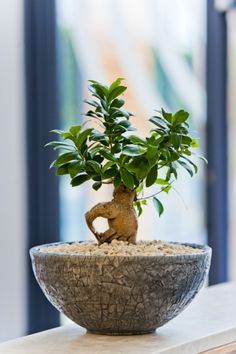 Bonsai Ficus Ginseng in desk bowl on office reception