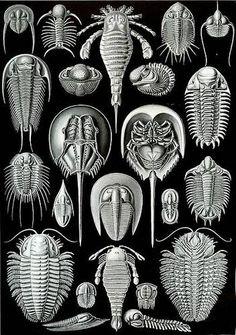 ernst haeckel trilobites