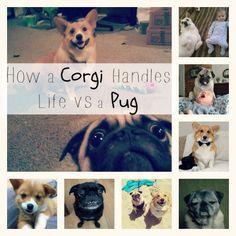 Corgi vs Pug Dogs Personality I love my Hun Corgi Pug, Pug Dogs, Pugs, Dogs And Puppies, Dog Stuff, Funny Stuff, Corgis, Cuddles, Pug