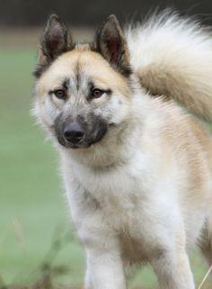 groenlandhund_b0bba0ca40ae1321bde817daa01edf85.jpg (550×750)