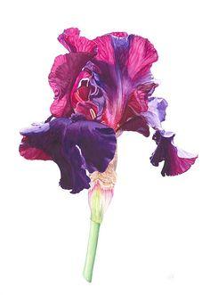 Iris Flowers, Botanical Flowers, Botanical Illustration, Botanical Prints, Illustration Art, Magenta Flowers, Watercolor Flowers, Watercolor Paintings, Watercolors