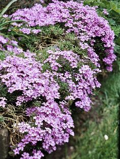 Creeping Phlox: likes full sun and won't crowd out other plants. nice possibility as a filler in the front flower beds