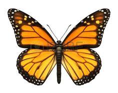 Monarca Mariposa con las alas abiertas en una vista desde arriba como mariposas insectos voladores m Foto de archivo
