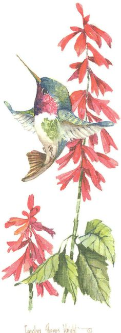 Broad-Tailed Hummingbird with Salvia 12 x 6 lithograph