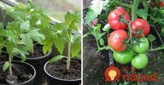 Farmár použil starodávny zlepšovák pri pestovaní paradajok: Vďaka starému chlebíku porastú ako z vody! Planting Vegetables, Garden Inspiration, Kids And Parenting, Stuffed Mushrooms, Gardening, Health, Flowers, Terrarium, Couture
