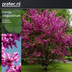 Cercis siliquastrum - Europese Judasboom http://pratec.nl/product-categorie/bomen/?orderby=price&filtering=1&filter_latijnse-naam=141 De Judasboom is een boom, plant, heester uit de vlinderbloemenfamilie, Leguminosae , Caesalpiniaceae. De Cercis siliquastrum, Europese Judasboom, is een opvallende verschijning in uw tuin, de boom bloeit rijk, vóór de bladontwikkeling met opvallende roze vlinderbloemen op de takken.