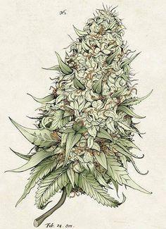 Cannabis Botanical