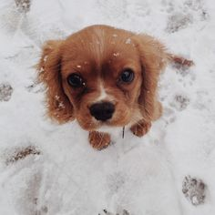 Puppy in the snow :) Ruby cavalier king charles spaniel