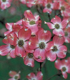 Cornus florida Cherokee Brave