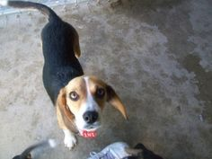 #MICHIGAN #URGENT ~ 181 Beagle  Queenie & 3 #puppies are #adoptable dogs in #Ithaca - We have a 2y/o Momma Beagle with 3 2mos old male #pups who've had their 1st #puppy shot. {{click link below for the story of another Queenie from this shelter}} #Adopt & #Rescue at GRATIOT COUNTY ANIMAL CONTROL   has had a contract with R & R a Class B animal dealer selling to RESEARCH - http://pcrm.org/good-medicine/2012/winter2012/queenies-story     2675 W Washington Rd    #Ithaca MI 48847    Ph…
